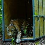 Regresa jaguar atropellado a reserva de la Biosfera de Sian Kaan
