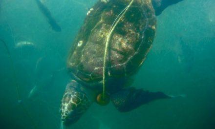 Mortandad en playa de San Lázaro, BCS: 351 tortugas caguama y 137 lobos marinos