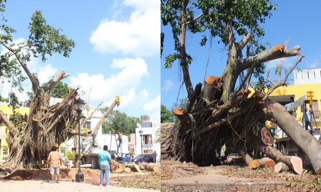 Inédito salvamento: viejo árbol de hule en colonia Sisal de Valladolid