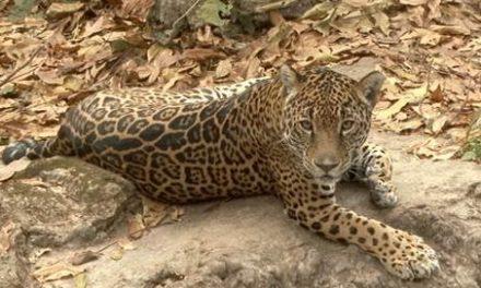 'Espacios vitales' del jaguar, limitados por deforestación
