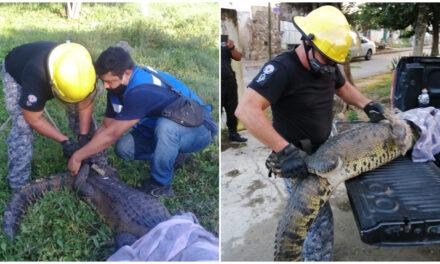 Capturan cocodrilo en rancho de Umán; un enigma de dónde provino