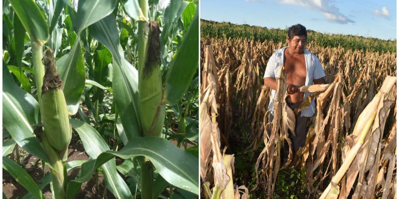 'La milpa maya, en crisis de subsistencia como sistema de vida'