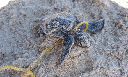 Ciclones dañaron espacio vital de tortugas y fauna costera en Yucatán