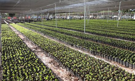 Mega vivero de Sembrando Vida en X'matkuil, con más de 4.6 millones de plantas frutales