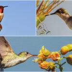 Colibríes, claves en equilibrio ecológico, con dificultades de sobrevivencia