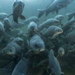 Advierte WWF de crisis del planeta por declive de peces de agua dulce