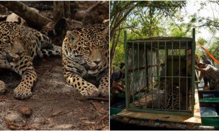 """Las hermanas jaguar """"Celestún"""" y """"Nicté-ha"""", liberadas en su hábitat"""