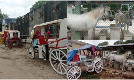 'Nuestros caballos son parte de nuestra familia'.- caleseros de Mérida