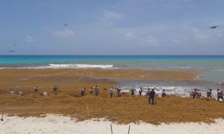 Abundante sargazo invade playas del Caribe Mexicano; esperan más (Vídeo)