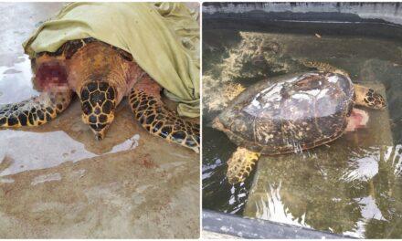 Reportan más ataques de perros callejeros a tortugas marinas en desove
