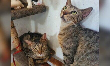 Gatos domésticos, con mayor abandono, maltrato y lesiones